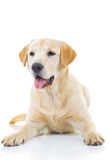 Panting yellow labrador retriever dog Stock Image