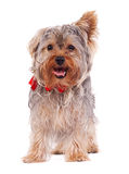 Panting Yorkshire terrier Stock Images