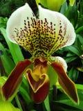 Pantoffel-Orchidee Stockfotografie