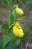 Pantofola gialla del ` s di signora che fiorisce a giugno Immagini Stock