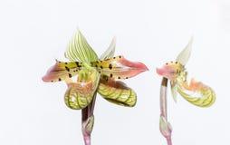 Pantoufle verte de lady's (espèces de Paphiopedilum) Photos libres de droits