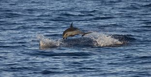 Pantropical Spotted Dolphin, Stenella attenuata royalty free stock photo