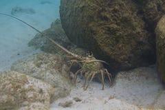 Panulirus argus lobster Royalty Free Stock Photo