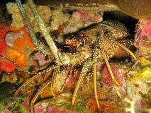 panulirus för argus spiny karibisk hålahummer arkivfoton