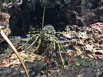 Panulirus ornatus或华丽大螯虾或热带大螯虾 免版税库存照片