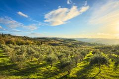 Panzano in Chianti olive trees and vineyard sunset. Tuscany, Italy. Panzano in Chianti olive trees and vineyard sunset in autumn. Tuscany, Italy Europe stock image