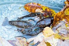 Panzerkrebse lebendig im Wasser und in den Blättern Lizenzfreie Stockfotografie