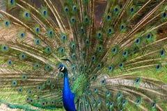 Paon avec de belles plumes Image libre de droits