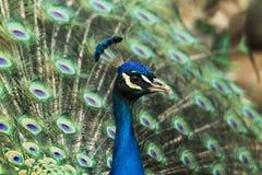 Paon avec des plumes images libres de droits