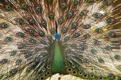 Paon avec des plumes Photo stock
