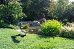 Paon avec l'étang et le jardin de paysage Photographie stock