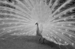 Paon avec la queue étirée en noir et blanc photographie stock libre de droits
