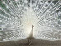 Paon blanc Images libres de droits
