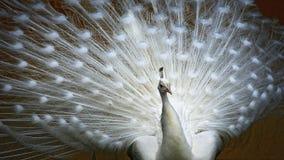 Paon blanc avec le plumage photographie stock