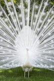 Paon blanc dans l'Isola Mella, lac Maggiore, Italie Photographie stock libre de droits