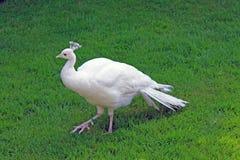 Paon blanc sur le fond de l'herbe verte en parc sur l'île d'Isola Madre Italie photos stock