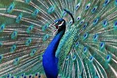 Paon bleu. photo libre de droits