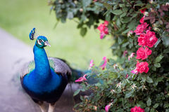 Paon bleu Photo libre de droits
