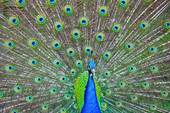 Paon bleu Image libre de droits