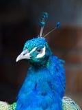 Paon bleu Photographie stock libre de droits