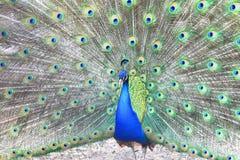 Paon bleu fier montrant de belles plumes Image libre de droits