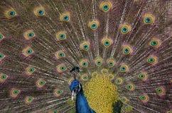 Paon bleu indien avec le plumage répandu images libres de droits