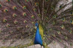 Paon bleu indien avec le plumage répandu images stock