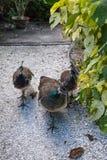 Paon brun et vert femelle ou peafowl indien images libres de droits
