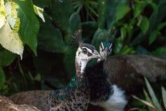 Paon brun et vert femelle ou peafowl indien photos libres de droits