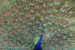 Paon coloré Images stock