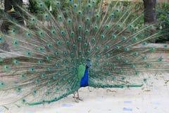 Paon coloré photos stock