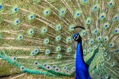 Paon coloré avec de belles plumes Image stock