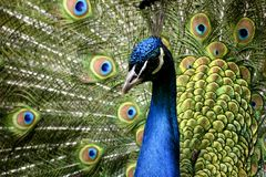 Paon d'oiseau de paradis Image libre de droits