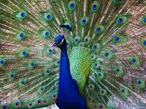 Paon dans le plein plumage Photographie stock libre de droits