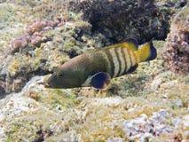 Paon de derrière en récif coralien Photos stock