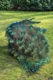 Paon en parc Image stock