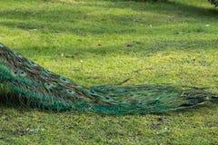 Paon en parc Image libre de droits