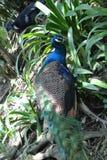 Paon en parc d'oiseau de kilolitre Photo stock