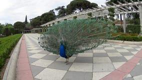 Paon en parc espagnol banque de vidéos