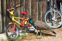 Paon et vélo Images libres de droits