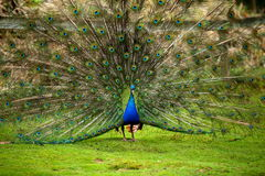 Paon faisant la roue. peacock Royalty Free Stock Photography