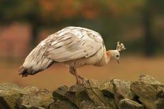 Paon femelle blanc images libres de droits