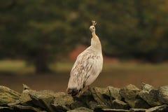 Paon femelle blanc photos libres de droits