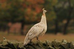Paon femelle blanc photo libre de droits