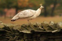 Paon femelle blanc photographie stock libre de droits