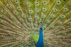 Paon, fermé du paon montrant de belles plumes Photos stock
