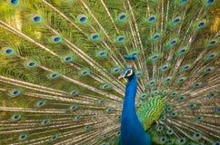 Paon, fermé du paon montrant de belles plumes Photo libre de droits