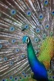 Paon Fermez-vous du paon montrant ses belles plumes mâle Images stock