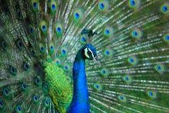Paon Fermez-vous du paon montrant ses belles plumes mâle Photo stock