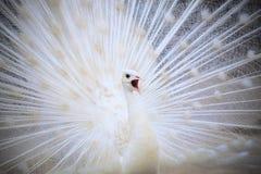 Paon indien masculin blanc avec le beau feathe de plumage de queue de fan images libres de droits
